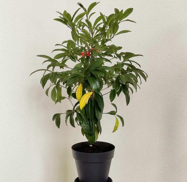 La falta de aderezo en ardisia suele provocar el amarilleo de las hojas.