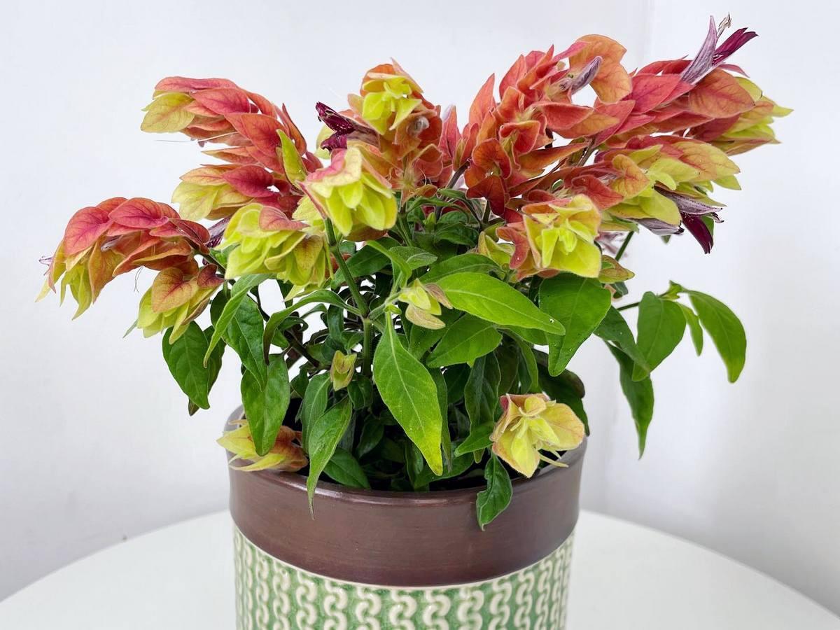 Белопероне — как выращивать комнатный хмель?