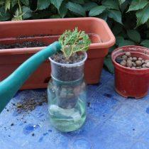 Стаканчик поместить в банку с водой. Посадить черенок под наклоном 45° в грунт на глубину 2-5 см и полить почву