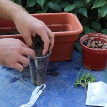 На дно стаканчика уложить небольшой дренажный слой. Затем засыпать подготовленный субстрат, приготовленный из торфогрунта и песка в одинаковых пропорциях