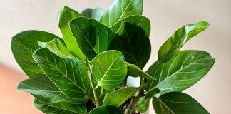 Фикус бенгальский — уникальный своими яркими листьями
