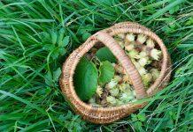 Фундук — простые правила богатого урожая