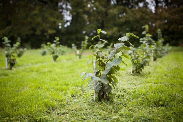 Для образования большого числа завязей, важно посадить как можно больше сортов и кустов фундука