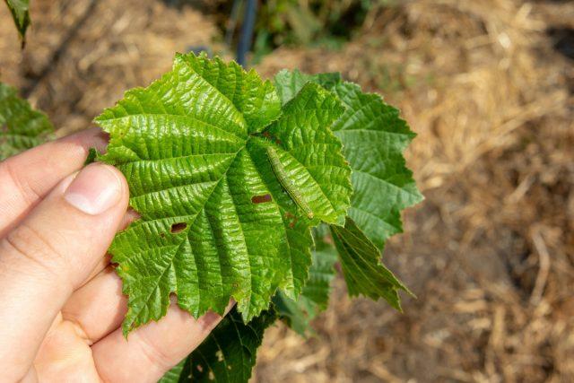 За кустами нужно следить, регулярно проверять листья и побеги