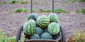 Когда собирать урожай арбузов, как транспортировать и хранить?