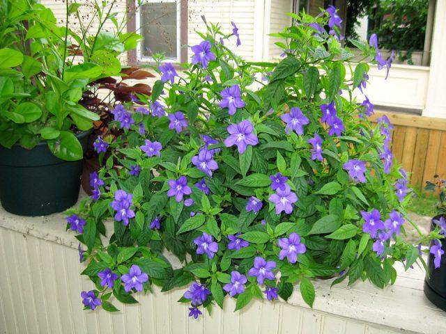 На лето лучше выносить броваллию на балкон или в сад
