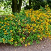 Rododendro amarillo (Rhododendron luteum)
