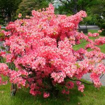Azalea japonesa (Rhododendron japonicum)