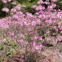Rhododendron vaseyi