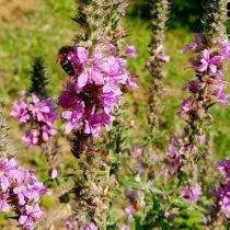 Пчёлка на дербеннике