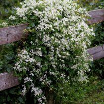 Клематис трёхцветковый, или маньчжурский (Clematis terniflora)