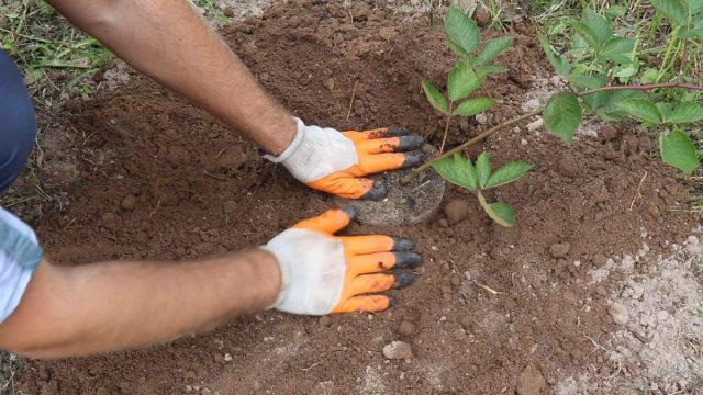 Высаживаем молодые кусты еживики в землю