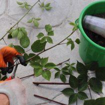 Обрежьте черенок до длины 15 см. Удалите листья, оставив только по 2-3 листочка на каждом черенке.