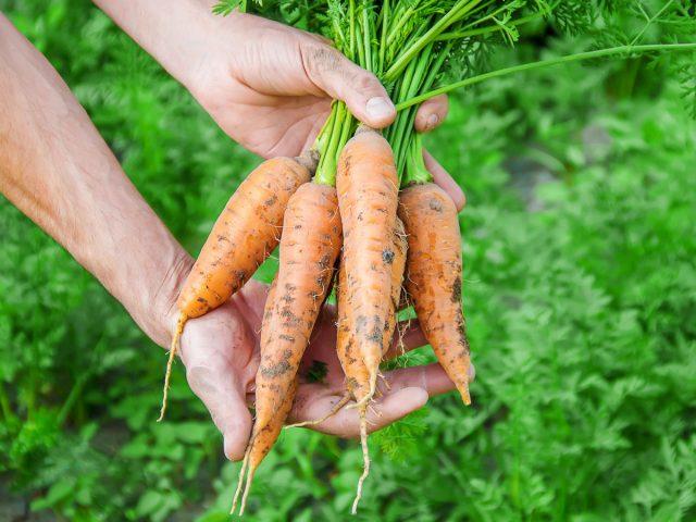 Правила второго урожая моркови