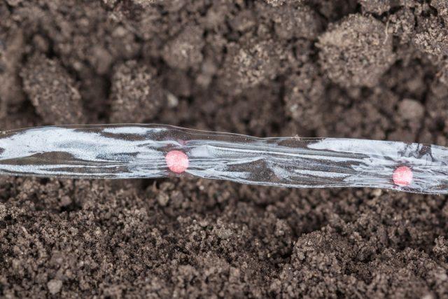 Семена моркови на лентах