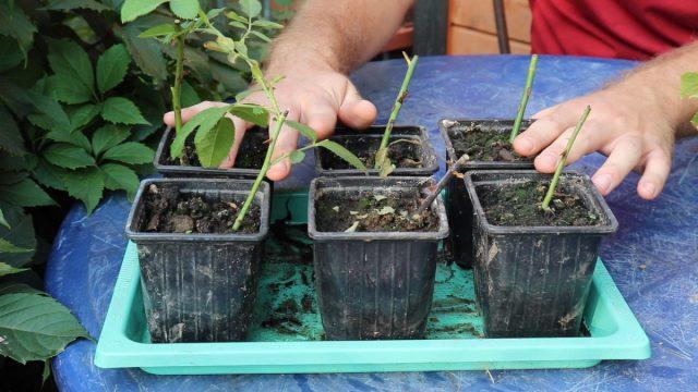 Resultados de esquejes de rosas y hortensias.  ¿Cómo plantar nuevas plántulas correctamente?