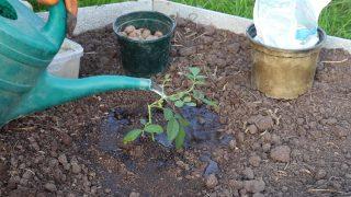 Riegue el hoyo de plantación generosamente con agua.  Retire la plántula de la maceta.  Plante una plántula.  Riegue bien la planta desde arriba y cubra la zona de las raíces.
