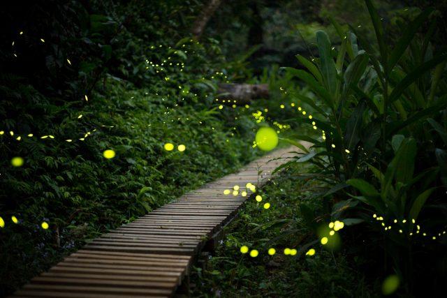 Luciérnagas: ¿por qué brillan y qué beneficios aportan a los jardineros?