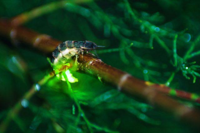 Luciérnaga común (Lampyris noctiluca)