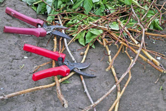 La poda ideal de frambuesas es la que inmediatamente después de la fructificación eliminará los arbustos de todo lo innecesario.