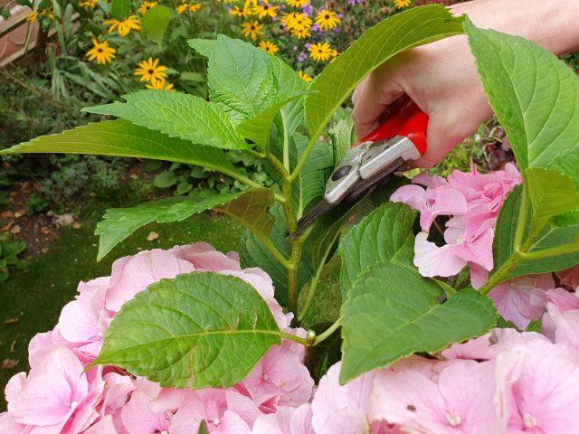 Летнее черенкование — самый разрекламированный способ размножения гортензии