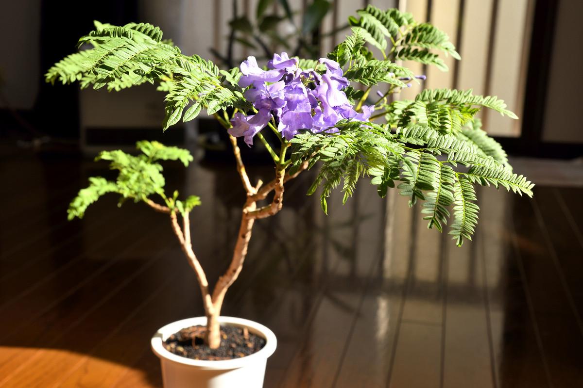 Жакаранда в комнате — экзотическое дерево-мечта