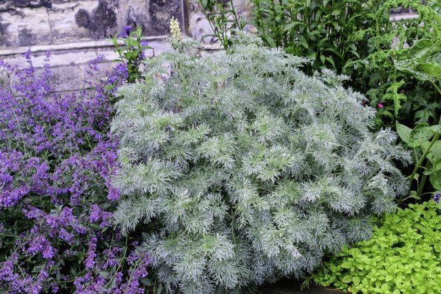 Полынь (Artemisia)