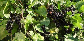 В период образования бутонов ягод, мы опрыскиваем смородину чесночным раствором