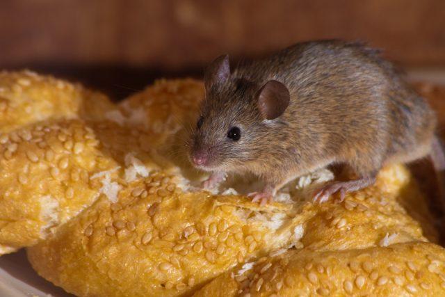 Боремся с мышами в доме без вреда для себя