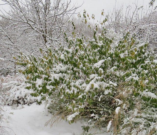 Гуми не всегда успевает подготовиться к зиме и уходит под снег с листьями. текст пока блокирует антиспам. попробую еще