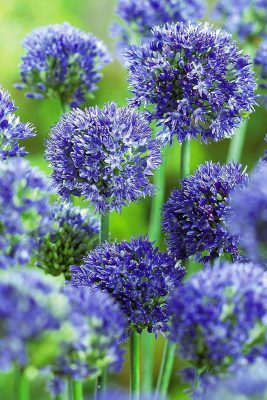 Декоративный лук аллииум «Голубой»