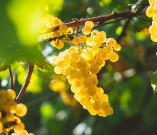 Виноград — секреты здорового урожая