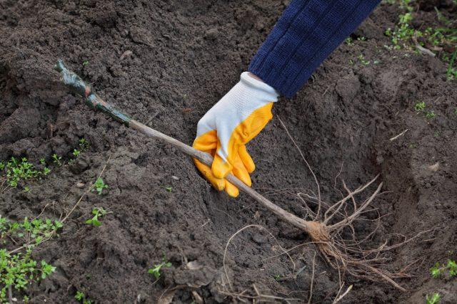Процесс посадки винограда