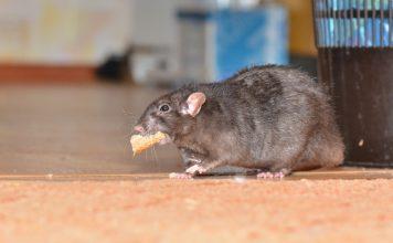 Защищаем дачные постройки от крыс и мышей