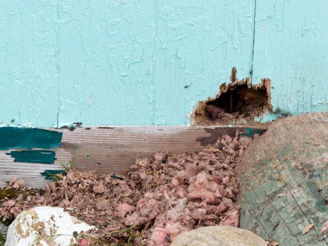 Дыра в стене сарая, проделанная грызунами