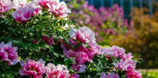 Древовидные пионы — выбираем, пересаживаем, размножаем