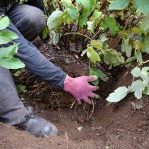 При выкопке куста древовидного пиона для пересадки на новое место старайтесь перенести растение с земляным комом