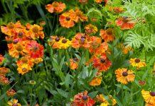 Гелениум — современные сорта и их использование в дизайне сада