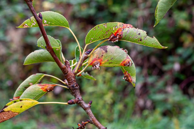 Ржавчина груши и можжевельника (Gymnosporangium sabinae)