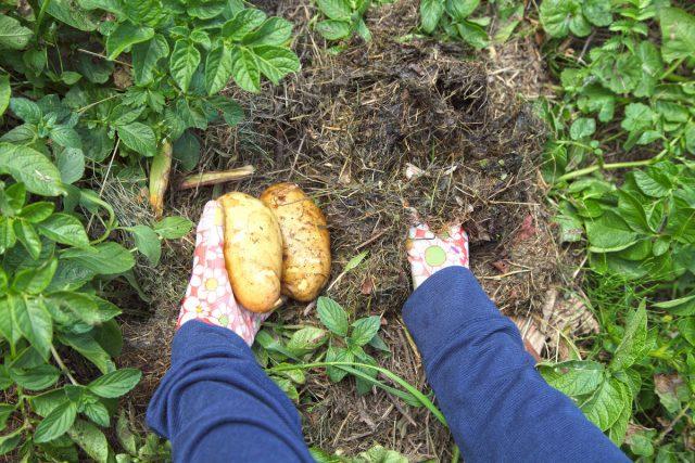В Комсомольске-на-Амуре удачным оказалось мульчирование картофеля скошенной травой