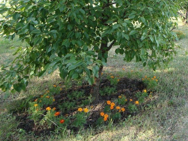 Вокруг яблонь и груш я сажаю календулу и бархатцы, они отпугивают вредителей