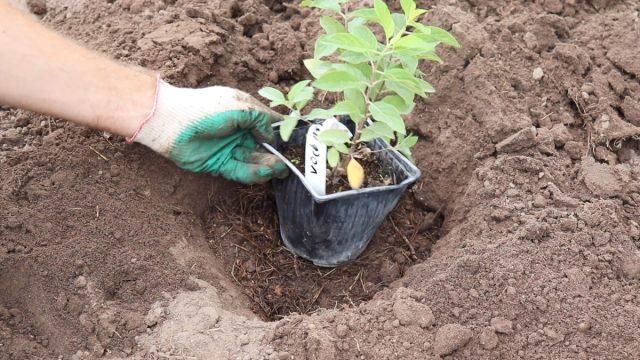 Как правильно посадить гортензию и ухаживать за саженцем после высадки?