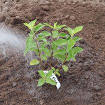 Уплотните почву вокруг кустика, полейте ее и замульчируйте приствольный круг