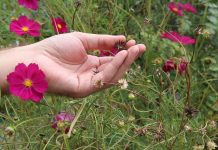 Правила сбора семян цветов