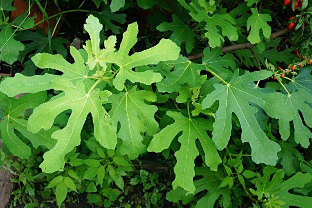 У инжира очень красивая и крупная листва, даже в средней полосе