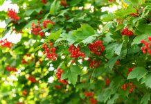 Калина обыкновенная — где посадить и как выращивать?