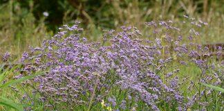 Кермек Гмелина — с луга в сад