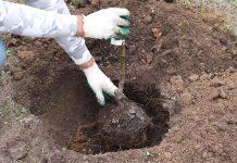 Пролейте посадочную яму и высадите саженец яблони