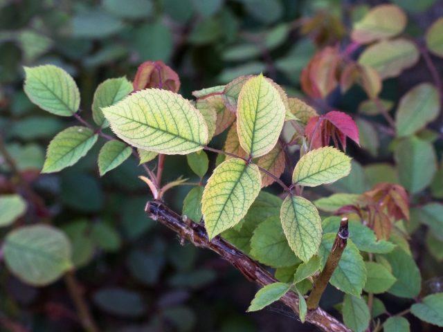 Неинфекционные болезни роз — как распознать и устранить проблему?