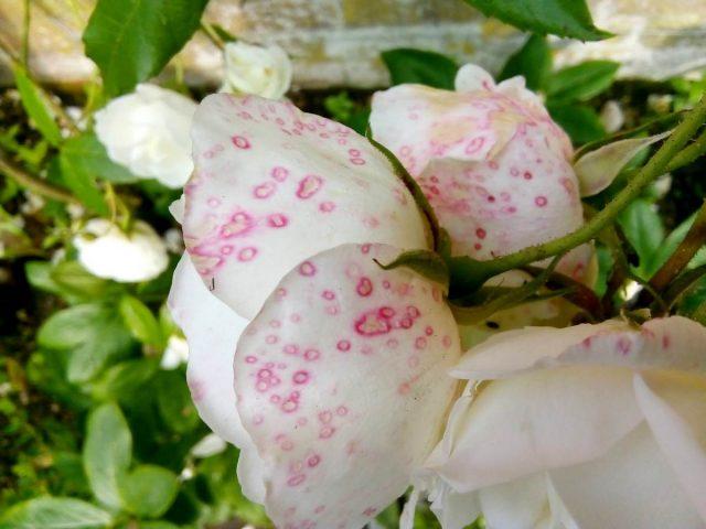 Иногда на лепестках роз после дождя появляются красные пятнышки